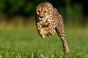 Loài động vật nào chạy nhanh nhất thế giới?
