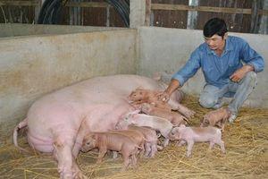 Năng suất sinh sản của lợn nái nội chỉ bằng 1/2 giống ngoại nhập