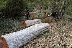Kiên quyết làm rõ sai phạm tại các ban quản lý rừng ở Gia Lai