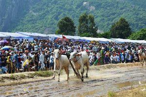 Hàng chục ngàn người xem đua bò Bảy Núi An Giang 2019