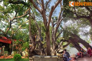 Điểm mặt những cây cổ thụ nhiều thân kỳ lạ nhất Việt Nam