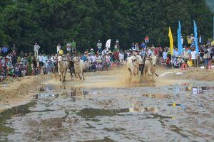 An Giang tưng bừng Lễ hội đua bò Bảy Núi