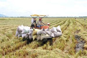 Hà Nội đã thu hoạch trên 62% diện tích lúa mùa 2019