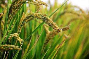 USDA dự báo sản lượng gạo toàn cầu niên vụ 2019/2020 giảm mạnh