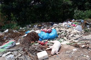 Hàng chục con lợn chết vứt giữa đường ở Buôn Ma Thuột