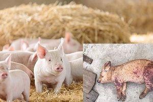 Hà Nội: Giảm hơn 1 triệu con lợn do Dịch tả lợn châu Phi