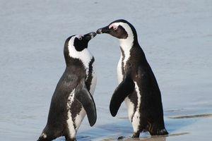 Đàn cánh cụt duy nhất tồn tại được dưới nắng nóng châu Phi