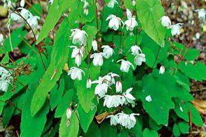 Các nhà khoa học khẳng định thứ cây đặc biệt trên núi Tản Viên có chức năng tăng cường sinh lý