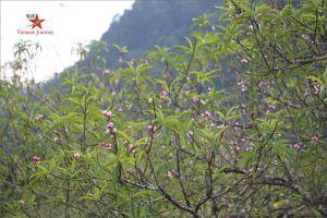 Mộc Châu bừng sáng sắc hoa trái mùa