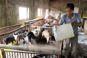 Tái đàn lợn sau dịch bệnh: Đâu là giải pháp an toàn?