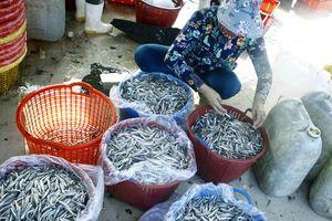 Ngư dân Quảng Ngãi vui mùa cá cơm đến sớm