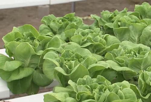 Nam Định: Thu lãi hàng tỷ đồng/năm nhờ trồng rau thủy canh hồi lưu