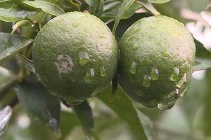 Hà Nội: Thu tiền tỷ/năm nhờ trồng cam theo công nghệ nano hữu cơ