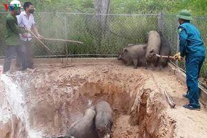 Người dân Nghệ An hoang mang trước dịch tả lợn diễn biến phức tạp