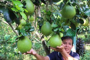 XD bảo hộ chỉ dẫn địa lý: Giải pháp nâng tầm bưởi Năm Roi Bình Minh