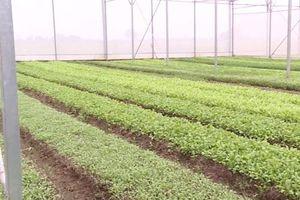 Hà Nội: Thu 500 triệu đồng/tháng nhờ mô hình trồng rau baby
