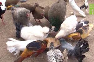 Hưng Yên: Kiếm hàng trăm triệu đồng/tháng nhờ nuôi 'hàng độc'