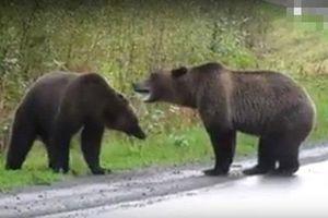 Gấu nâu khổng lồ kịch chiến giữa đường