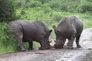 Cận cảnh cuộc chiến kịch tính của 2 chú tê giác dũng mãnh