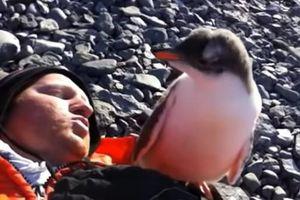 Phản ứng của chim cánh cụt con khi lần đầu tiên thấy con người