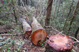 Khởi tố vụ án khai thác gỗ trái phép ở Kon Plông, Kon Tum