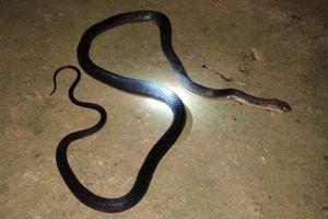 Cùng vợ lên nương hái thảo quả, người đàn ông bị rắn cắn tử vong