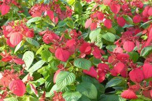 Sự thật bất ngờ cây bướm đỏ đẹp hay trồng làm cảnh