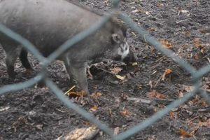 Ngạc nhiên cảnh lợn sử dụng công cụ để xới đất đào hang