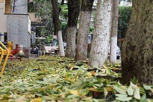 Không thể cứu sống hàng cây sưa nghi bị 'đầu độc' ở Hà Nội