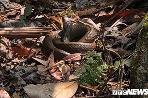Nam thanh niên đi rừng hái thảo quả bị rắn độc cắn tử vong