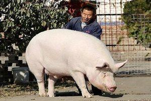 Trung Quốc: Nuôi lợn 'siêu to, khổng lồ' như gấu Bắc cực chống thiếu thịt