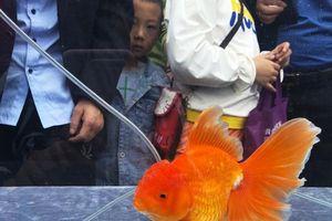 Choáng dàn 'thí sinh' khoe tài sắc giành ngôi hoa hậu cá vàng