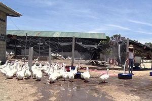 Quảng Trị: Khởi nghiệp từ mô hình nuôi vịt khép kín