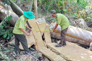 Phát hiện một vụ đốn hạ cây rừng ở Phú Yên