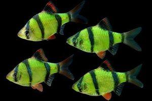Cá tứ vân siêu đẹp, thích 'làm trò' rỉa vây loài khác