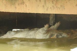 Hãi hùng xác lợn vứt đầy sông ngòi Nghệ An