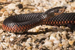 Dừng tang lễ vì rắn đen bụng đỏ trong mộ ở Australia