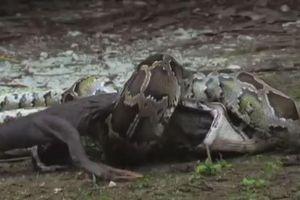 Dùng sức nuốt trọn cá sấu, trăn khổng lồ trả giá bằng mạng sống