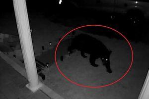 Gấu lẻn vào nhà dân để tìm thức ăn ở Mỹ