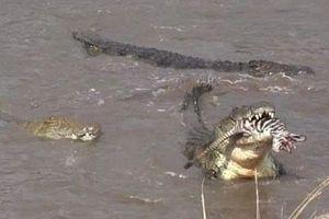 Kinh hoàng cá sấu xé xác ngựa vằn ngay trên sông