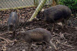 Lạ: Lợn cũng có khả năng sử dụng các công cụ lao động?