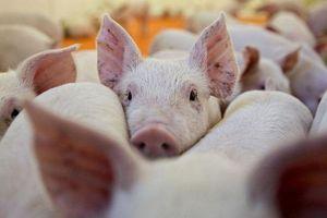 Cùng với Trung Quốc, giá thịt lợn ở Việt Nam sẽ còn 'sốt' đến hết năm