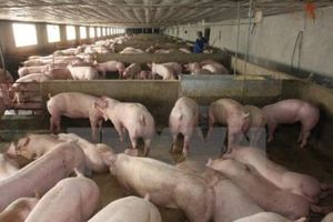 Cục Chăn nuôi: Chủ động được nguồn cung thực phẩm dịp cuối năm