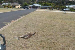 Nam thanh niên bị buộc tội vì lái xe đâm chết 20 con kangaroo