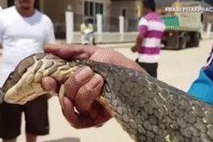 Rắn hổ mang chúa dài 4 m được lôi ra từ ống cống Thái Lan