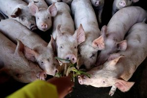 Hàn Quốc điều các tay súng bắn tỉa đi săn lợn bệnh