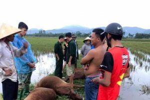 Hà Tĩnh: Sét đánh khiến 6 con bò chết, 1 người nguy kịch