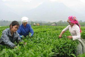 Trung Quốc muốn thành lập thương hiệu chè chung với Việt Nam