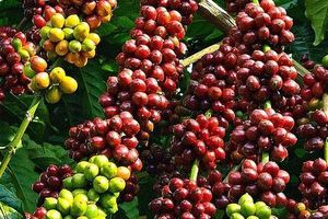 Giá cà phê hôm nay 15/10: Tăng 300 đồng/kg so với phiên hôm qua