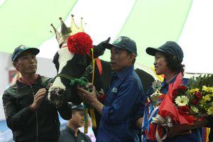 'Cô bò' cho 15 tấn sữa/năm, đăng quang hoa hậu bò Mộc Châu